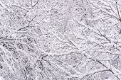 Abstract Scenic Winter Background. Snowy Tree Branches poster
