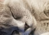 Gray British Small Kitten Sleeps Close-up. Close-up Of Muzzle Cats. Cute Kitty Sleeping poster