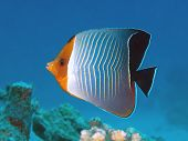 stock photo of butterfly fish  - Tropical fish Hooded butterfly fish in red sea - JPG