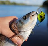 stock photo of chub  - Chub caught on spinning bait against river landscape - JPG