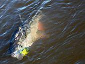 picture of chub  - Chub caught on spinning bait - JPG