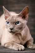 Pure-bred Devon Rex Cat Portrait On Dark poster