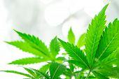 Grow Legal Recreational Cannabis. Cannabis Flower Indoor Growing. Marijuana Business. Northern Light poster
