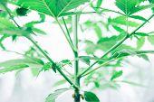 Cannabis Business. Northern Light Strain. Home Grow Legal Recreational Weed. Marijuana Grow Operatio poster