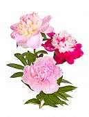 Stem, Leaves And Three Flowers Of Red, Pink, White, And Yellow Anemone-form Peonies Isolated Against poster
