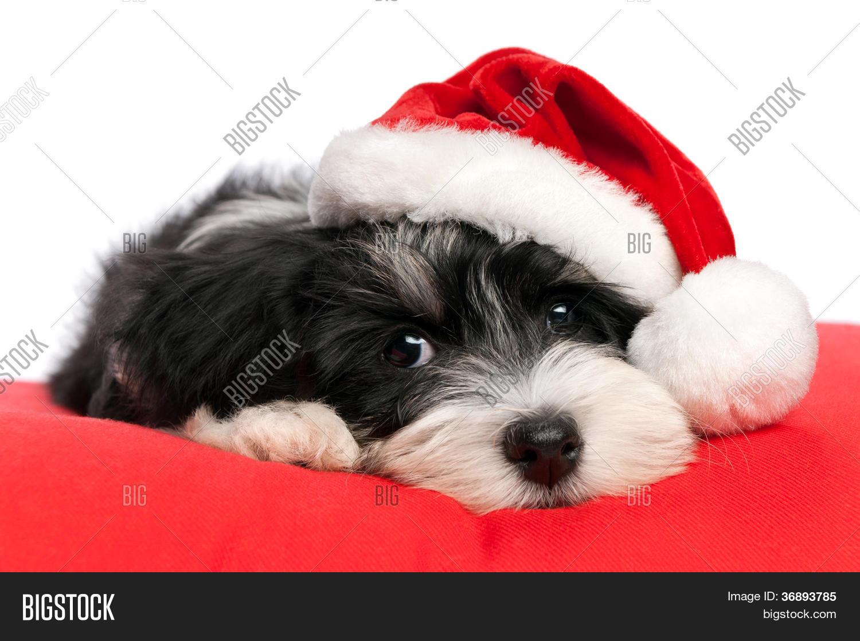 bild und foto weihnachten havaneser welpen hund bigstock. Black Bedroom Furniture Sets. Home Design Ideas