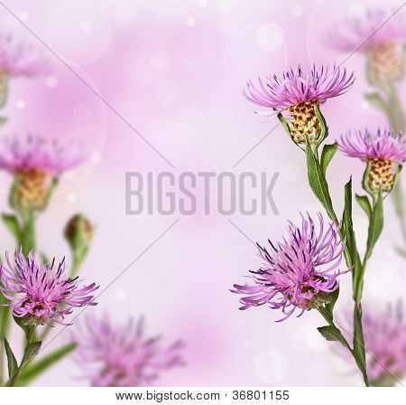 Meadow Knapweed Flower On Soft Background
