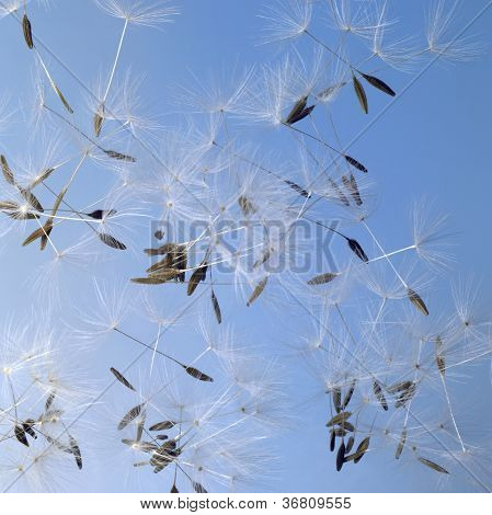 Dandelion Seeds In Blue Back
