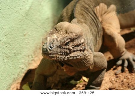 A Rhinoceros Iguana Of Hispaniola