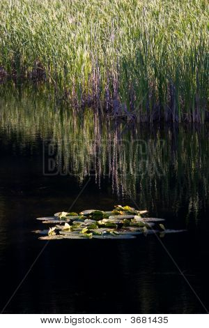 Lilypads In Calm Water.