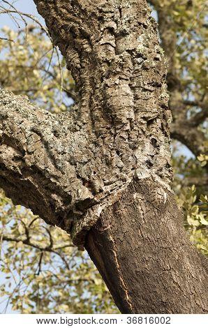 A Corkwood Tree