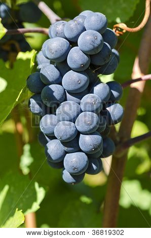 Pinot Noir Red Wine Grape on the Vine