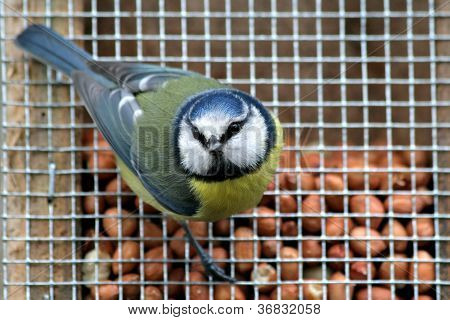 Bluetit on a feeder