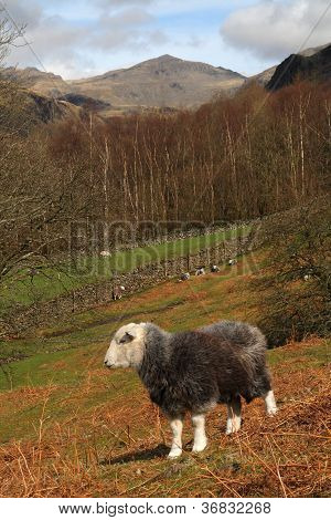 Herdwick Sleep