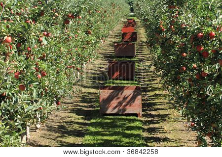 Apple Orchard 05