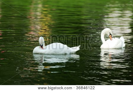 Photo of couple white swans swimming
