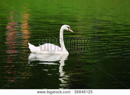 Alone Swan Swimming