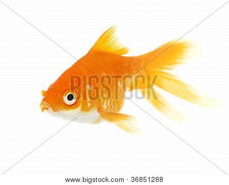 Gold fish.