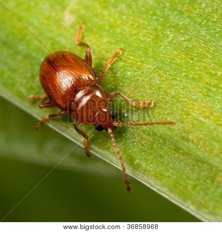 Red Bug On The Leaf