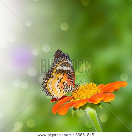 Pieridae Butterfly