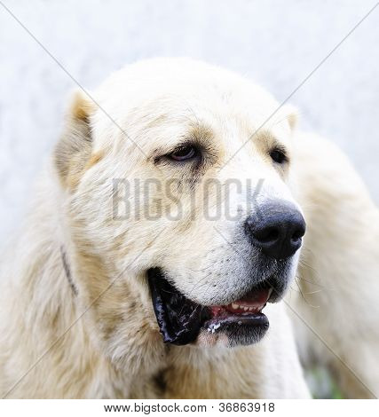 Asian Sheep Dog
