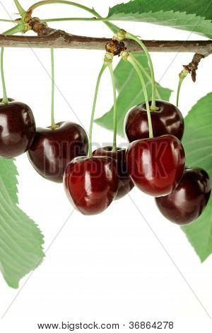 Branch Of Cherries With Leaves.