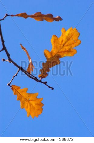 Leaves Of An Oak