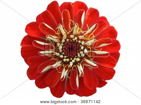Red blossom of a Zinnia