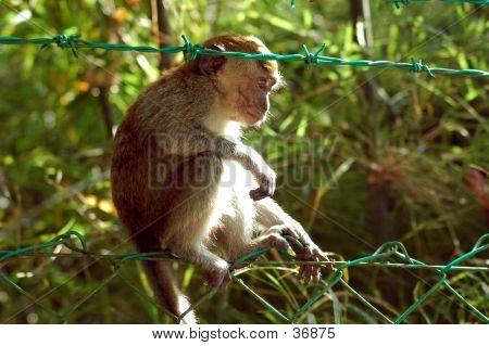 Monkey On The Fence