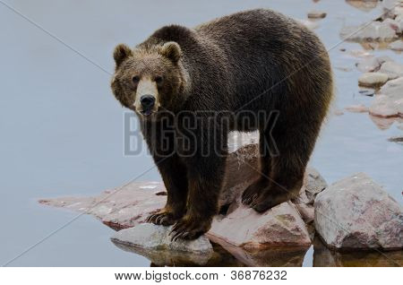 Brown Bear Hunting Salmon