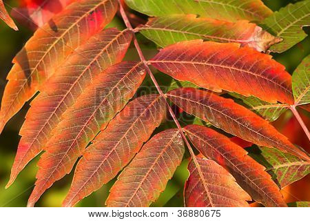 Crimson Red Sumac In Autumn