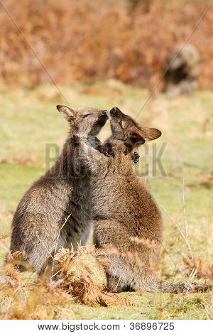 Wallabies Play
