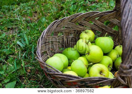 Green Apples In Basket On Green Grass