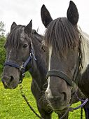 stock photo of fillies  - A portrait of a Yearlingshire X Gypsy Cob Filly  - JPG