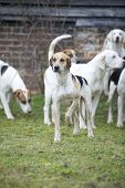 stock photo of bloodhound  - A hunting hound as used in fox hunting - JPG