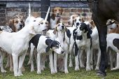 picture of bloodhound  - A pack of hunting hounds standing at the ready - JPG