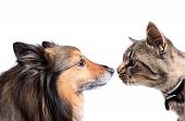 stock photo of animal nose  - Maine Coon cat and Sheltie dog nose to nose on a white background - JPG