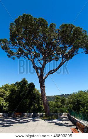 Maritime Pine curved tree, Pinus Pinaster mediterranean plant,