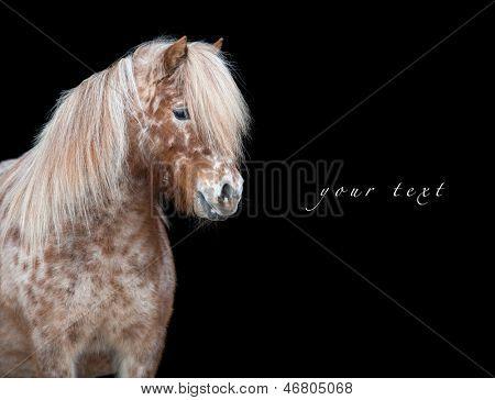 Appaloosa horse isolated on black background.