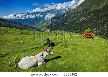Serene peaceful landscape background - cows grazing on alpine meadow in Himalayas mountains. Himachal Pradesh, India