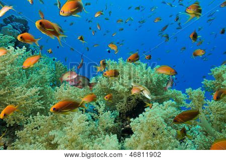 Soft corals and reef fishes of Zabargad Island Red Sea Egypt