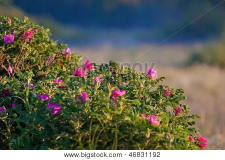 Briar (dog-rose)