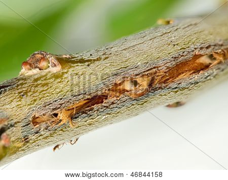 Macro Image Of Tree Damage From Cicada