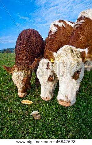 poster of Friendly Cattles On Green Granzing Land Are Trusty