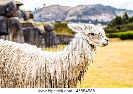 Peruvian alpaca , in natural background .