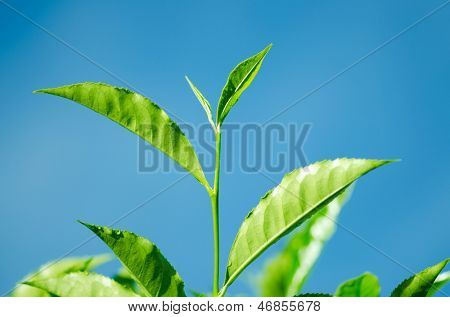 Tea Leaf with blue sky in the Background (Morning)