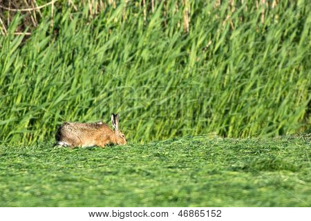 Hare eating in meadows mowed grass