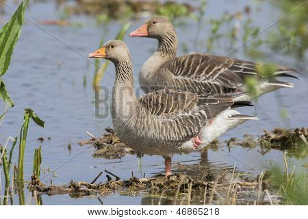 Couple greylag gooses standing in water
