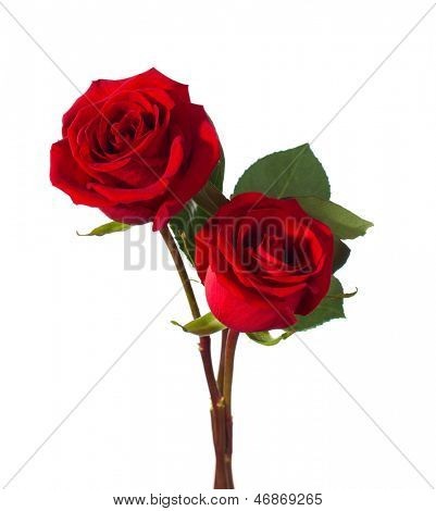 two red roses isolated on white