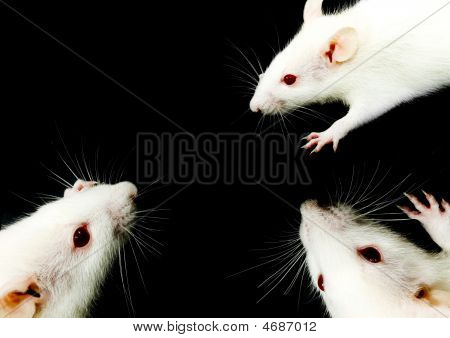 White Rat Trio